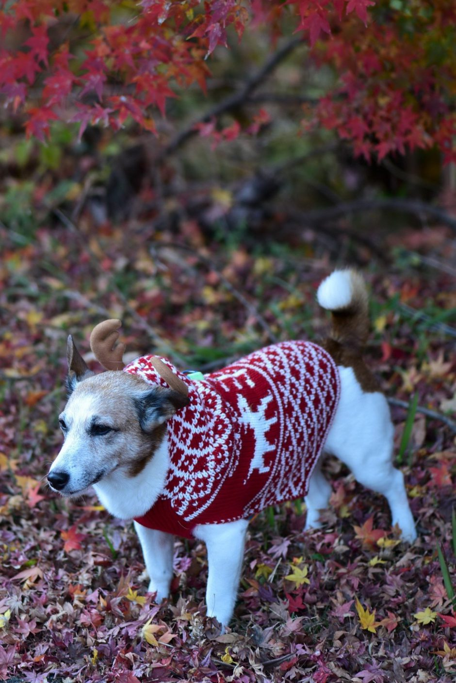 My dog wearing a sweter